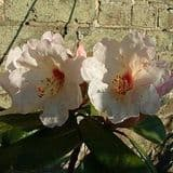 Rhododendron 'Prelude' - Find Azleas,Camellias,Hydrangea and Rhododendrons at Loder Plants
